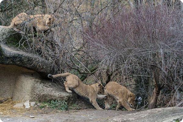 Зоопарк Базеля представил трех подрастающих львят