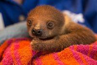 Детеныш двупалого ленивца из зоопарка Питтсбурга