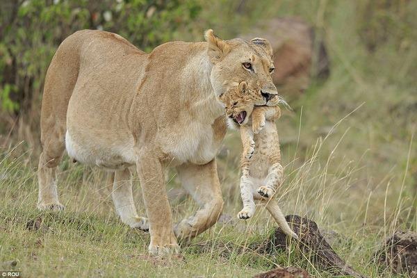 Левиця повертає свого непосидючого левеня додому - все про тварин