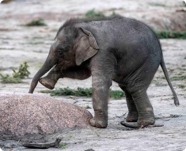 В зоопарке Берлина подрастает детеныш азиатского слона