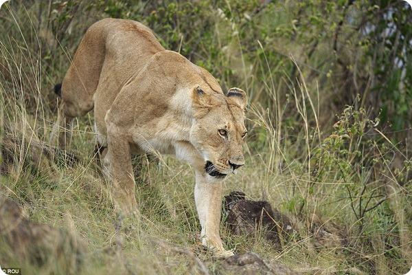Львица возвращает своего непоседливого львенка домой