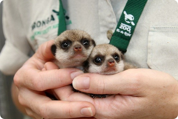 Маленькие сурикаты из зоопарка Таронга