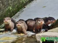 В зоопарке Тайбэя подрастают пять новых выдрят