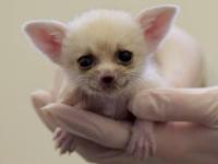 В Смитсоновском зоопарке у фенеков родились детеныши