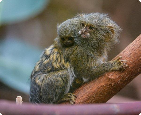 Зоопарк Честера представил детеныша карликовой игрунки