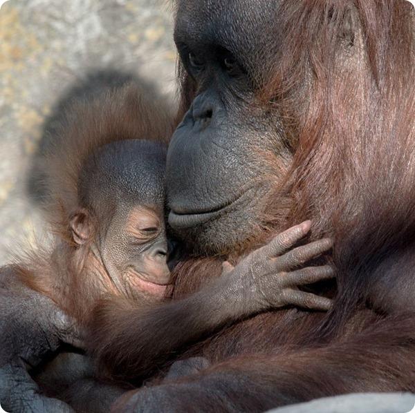 В зоопарке Тампы родилось два детеныша орангутанга