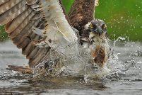 Охотящаяся скопа от британского фотографа Билла Доэрти