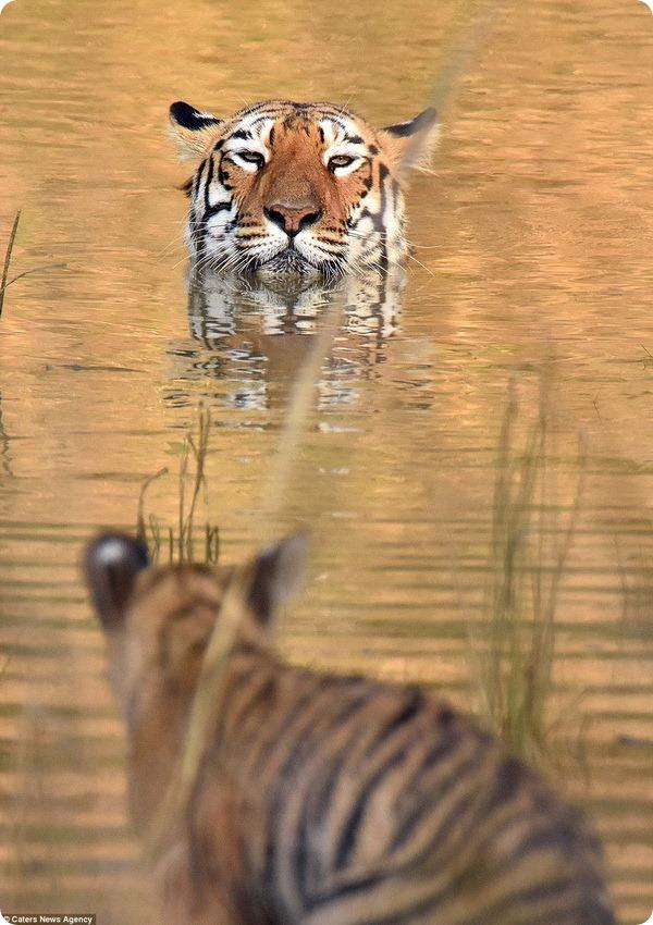 Тигрица и детеныш из заповедника Тадоба-Андхари
