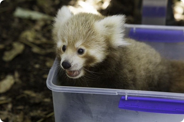 Детеныши малой панды прошли первый медицинский осмотр