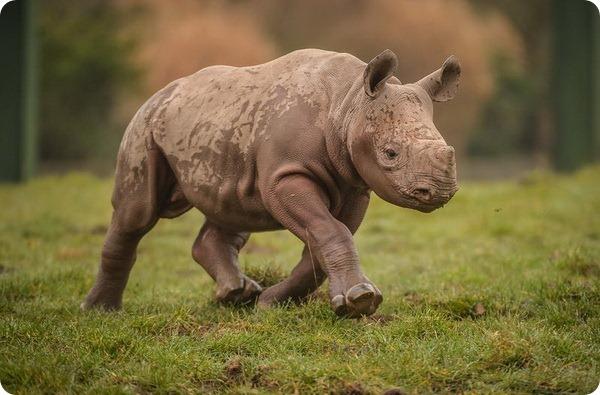 Зоопарк Честера представил детеныша чёрного носорога