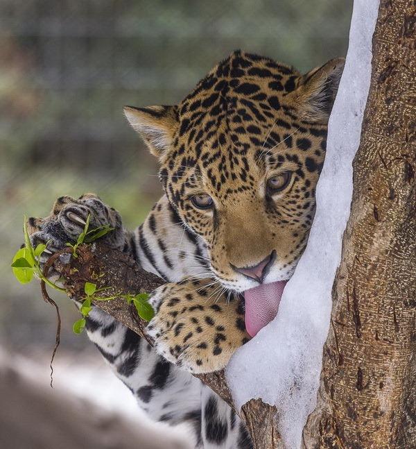 Ягуари із зоопарку Сан-Дієго вперше побачили сніг - все про тварин