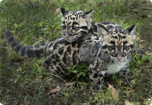 Детеныши дымчатого леопарда из зоопарка Тампы
