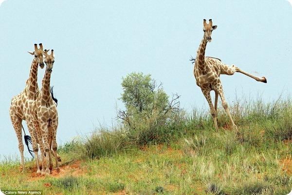 Бегущие жирафы от фотографа Шарлин Баккиони