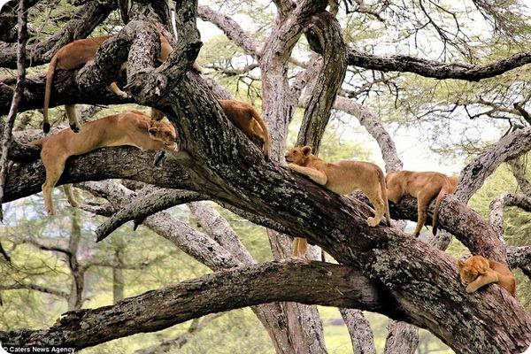 Львиное дерево в Центральном Серенгети в Танзании