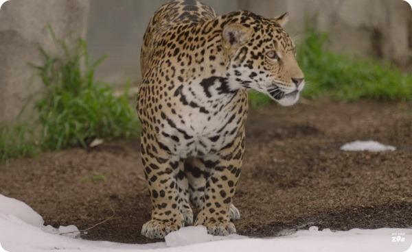 Ягуары из зоопарка Сан-Диего впервые увидели снег