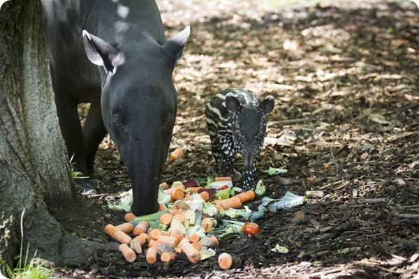 В зоопарке Эдинбурга родился детеныш чепрачного тапира