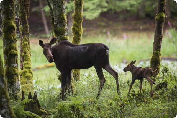 Парк дикой природы Northwest Trek: знакомство с лосями