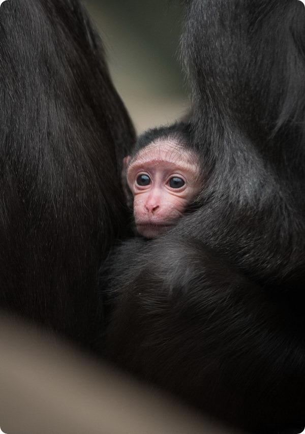Детеныш хохлатого павиана из зоопарка Честера
