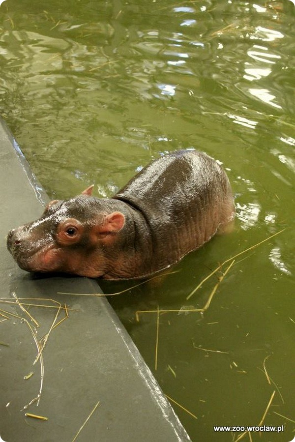 Зоопарк Вроцлава представил нового детеныша бегемота