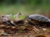Как лягушка-лентяйка решила прокатиться на черепахе
