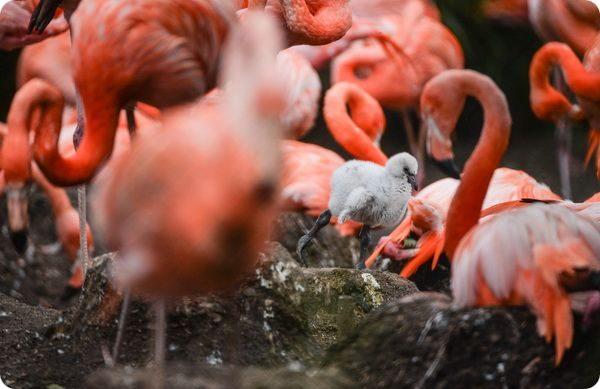 В зоопарке Честера вылупились птенцы фламинго