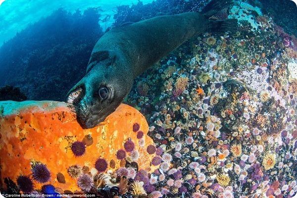 Морской котик играет со звездой у берегов Южной Африки