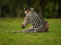 Детеныш зебры Греви из зоопарка Честера