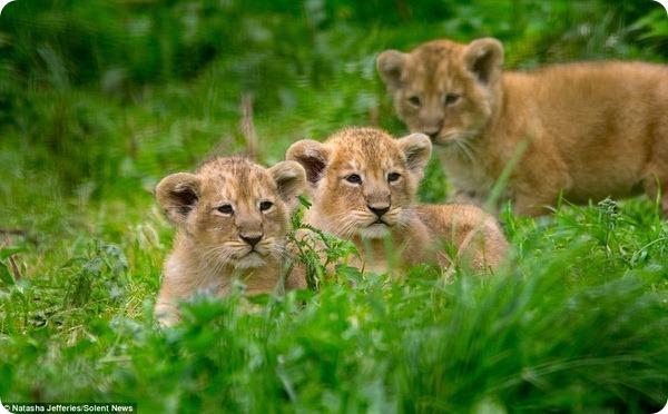 Азиатские львята из парка дикой природы Котсуолд