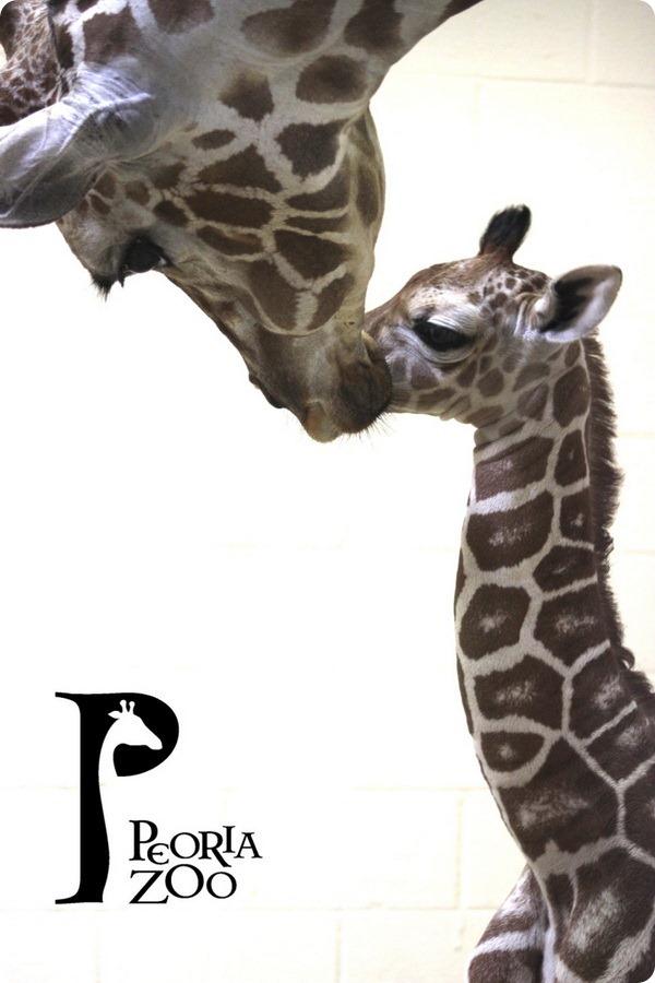 Детеныш сетчатого жирафа из зоопарка Пеории
