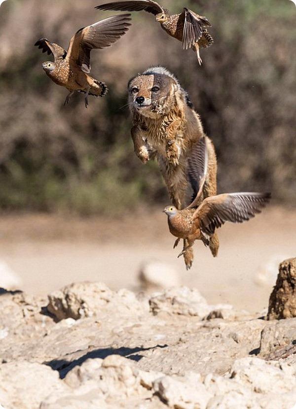 Шакал охотится на птиц у водопоя в заповеднике Кгалагади