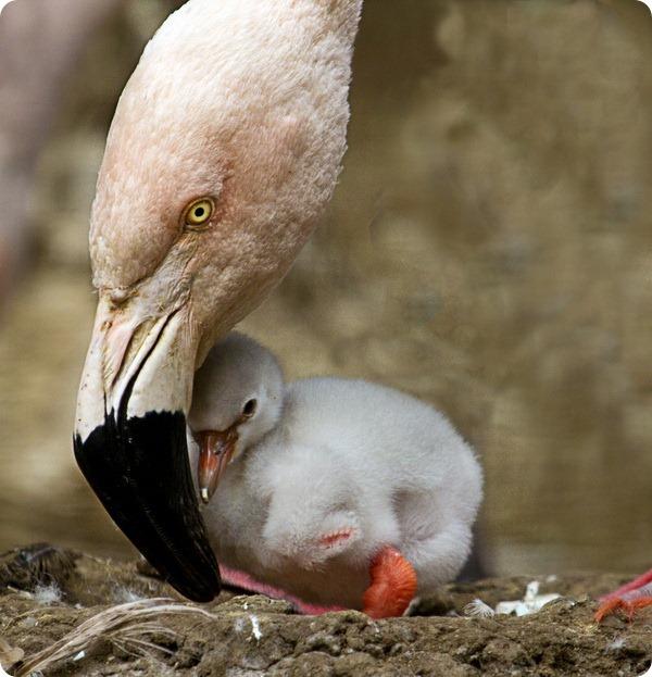В зоопарке Эдинбурга вылупились два птенца фламинго