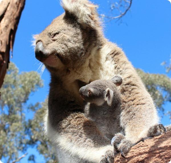 Детеныш коалы из австралийского зоопарка Таронга