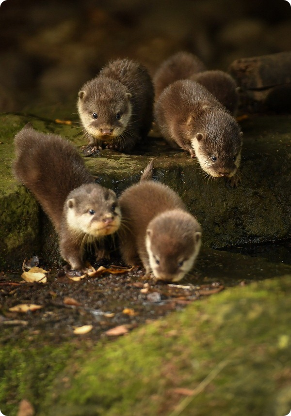 В зоопарке Честера выдрята берут первые уроки плавания