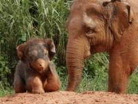 Азиатскому слоненку из зоопарка Сингапура дали имя