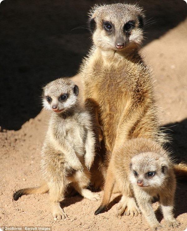 Австралийский зоопарк представил двух детенышей суриката