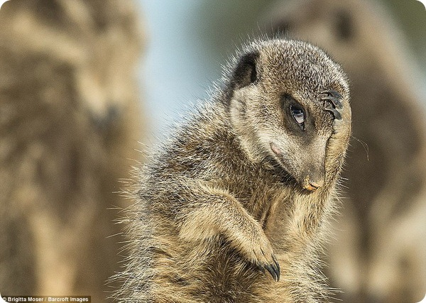 Конкурс Comedy Wildlife Photography Awards 2016