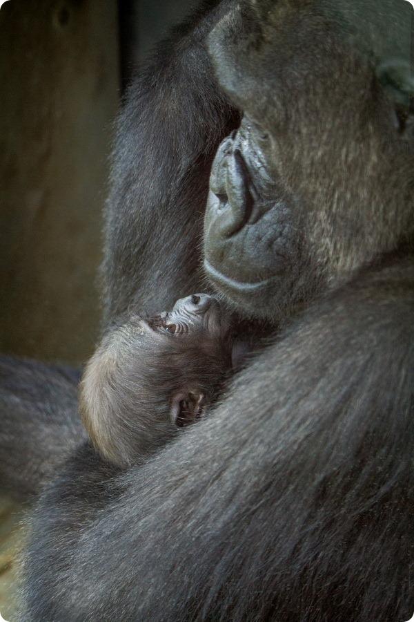Детеныш западной гориллы из зоопарка Филадельфии