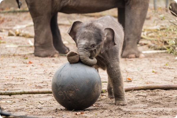 Зоопарк Амстердама представил нового азиатского слоненка