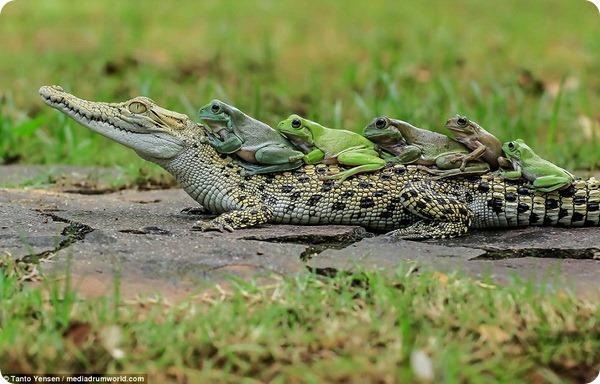 Бесстрашные лягушки и кайман от фотографа Танто Йенсена