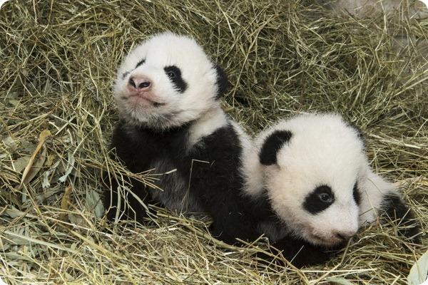 Детенышам большой панды из зоопарка Вены дали имена