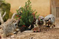 В зоопарке Лондона животные весело отпраздновали Рождество