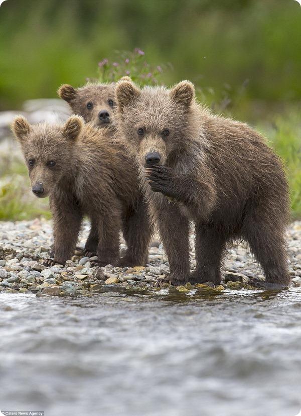 Медвежья рыбалка от фотографа Кристофера Васселина