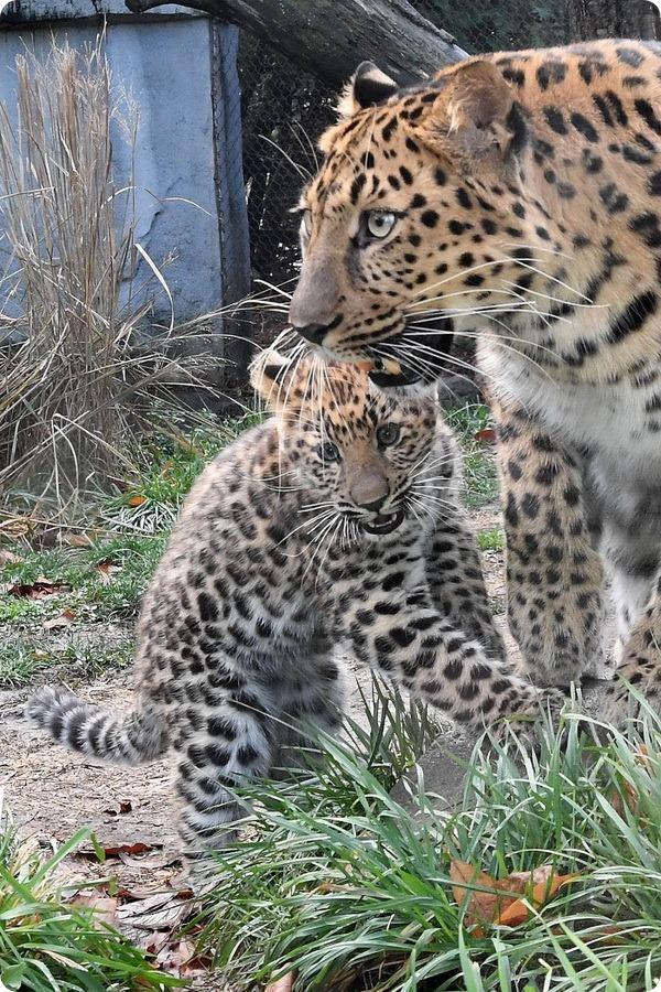 Зоопарк Брукфилда представил детеныша амурского леопарда