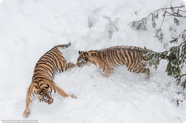 Схватка между амурскими тиграми в снежном лесу Швеции