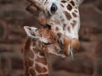 В зоопарке Честера родился детеныш жирафа Ротшильда
