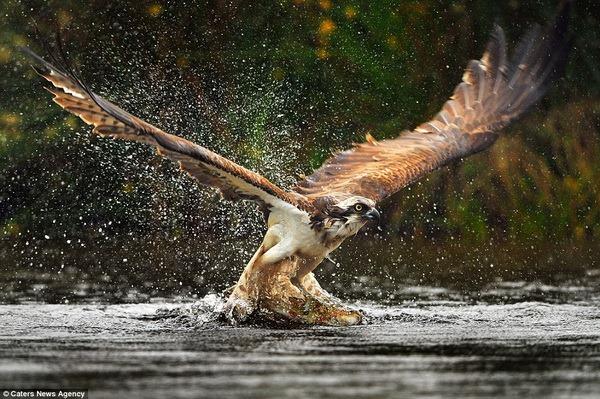 Британський фотограф зробив унікальні кадри скопи-рибалки - все про тварин