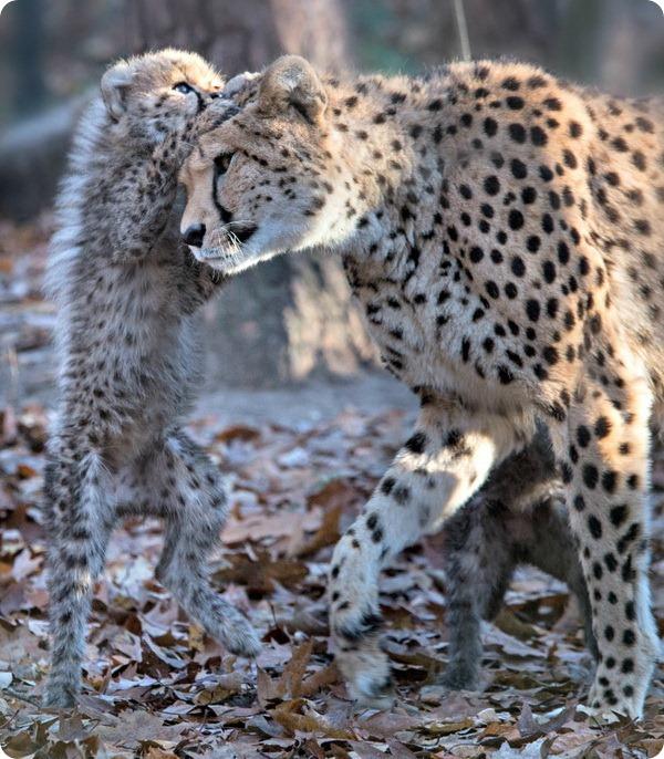 У самки гепарда из зоопарка Бюргерса родилось шесть детенышей