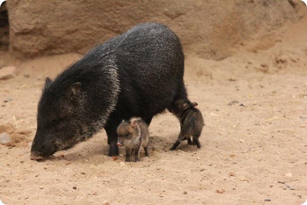 Зоопарк Бюргерса представил детенышей ошейникового пекари