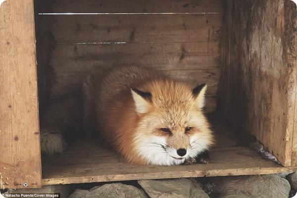 Fox Village – лисья деревня в Японии