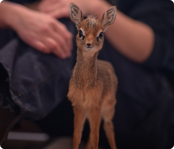 Зоопарк Честера представил детеныша дикдика